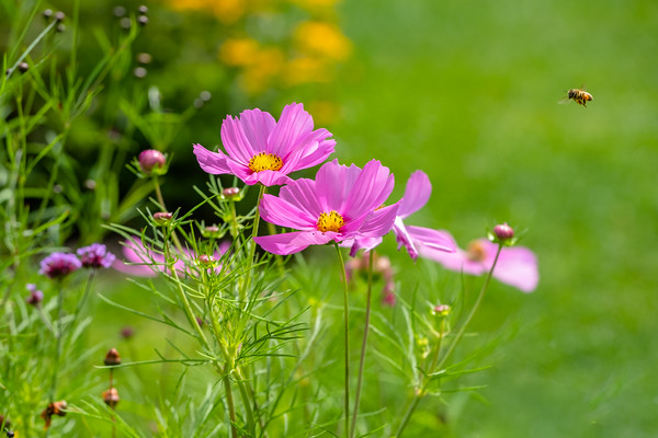 cosmos flowers and an incoming bee