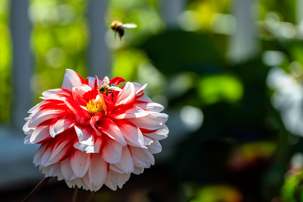 a dahlia and a bee