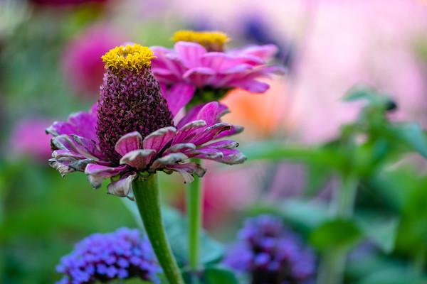 fading flowers, zinnia