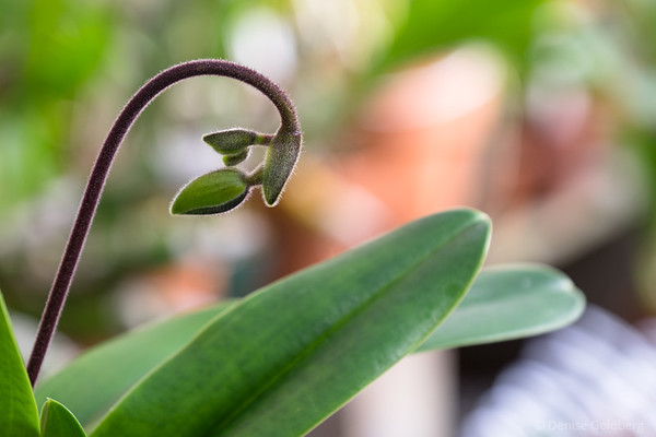 before the flower, a budding orchid