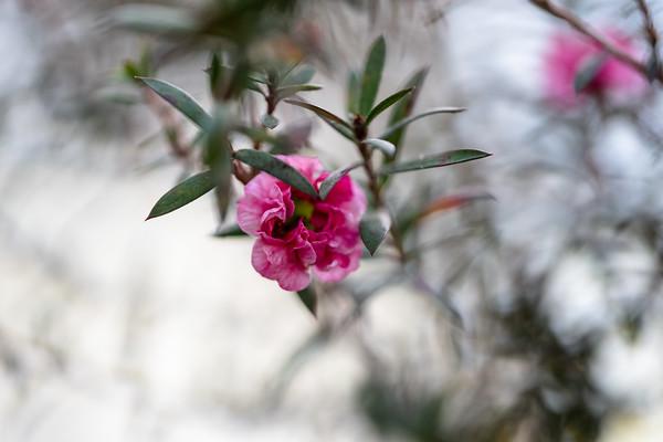 tea tree blossom