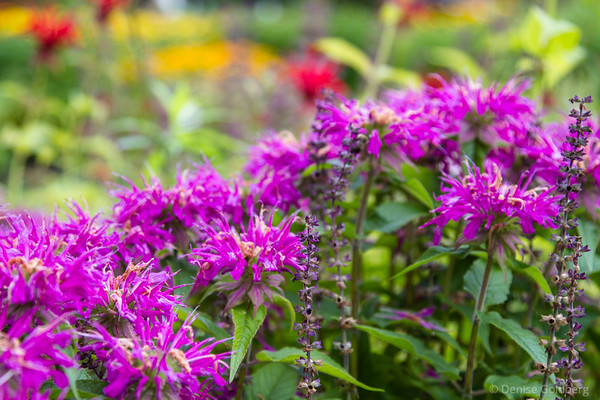 a swath of bee balm