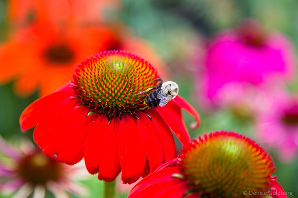 a bee happily feeing on echinacea