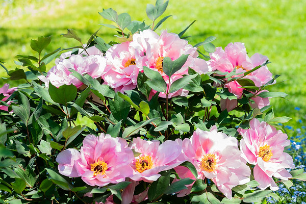 peonies in 2 rows