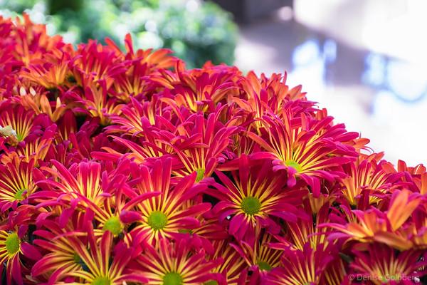 chrysanthemums, Longwood Gardens