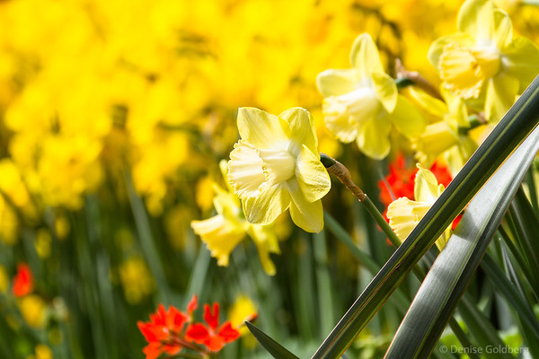 daffodils, perfection in yellow