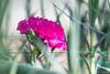 petals in pink