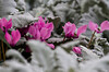 emerging pink