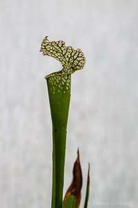 a jack in the pulpit