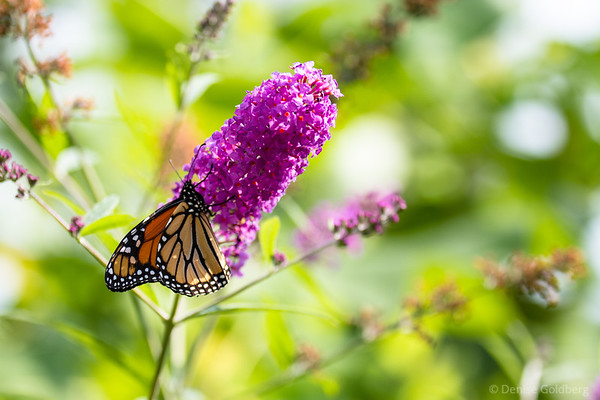butterfly and flowers, sipping nectar