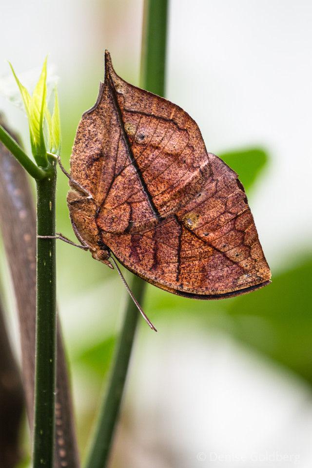 "a variation of a ""leaf"" butterfly - an autumn leaf or indian leafwing butterfly"