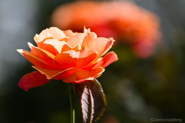 Fuller Gardens, roses