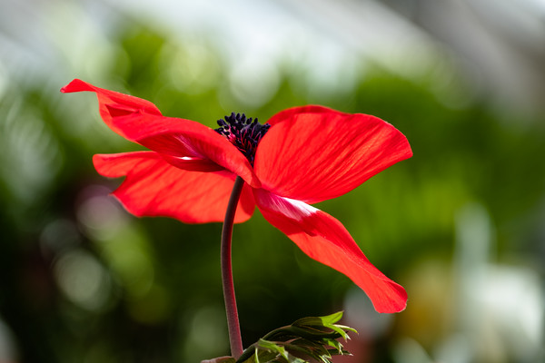 a poppy in red