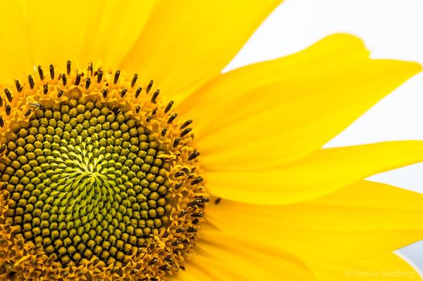 sunflower > Tower Hill Botanic Garden