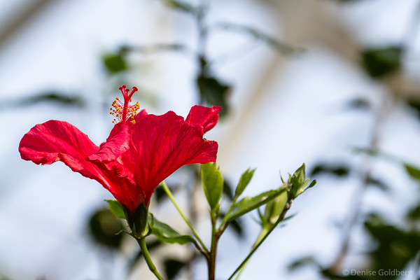 hibiscus in red