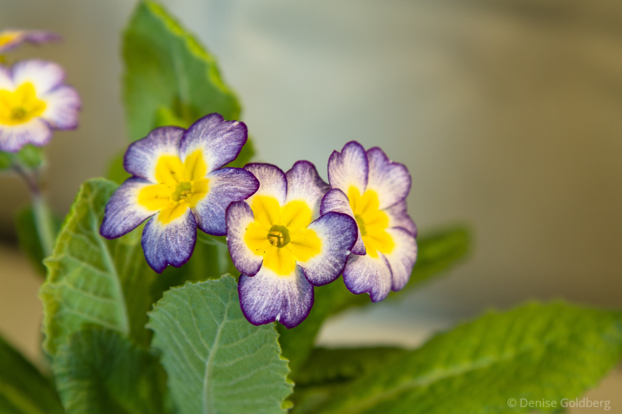 a primrose with a painted look