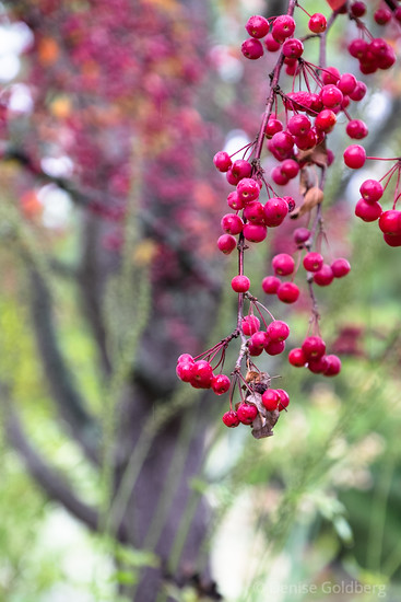 berries in bright red
