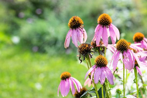late summer echinacea