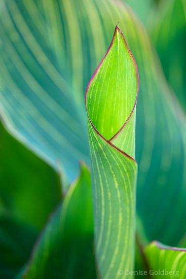 emerging leaf, curled