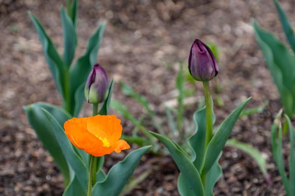 poppy & tulips