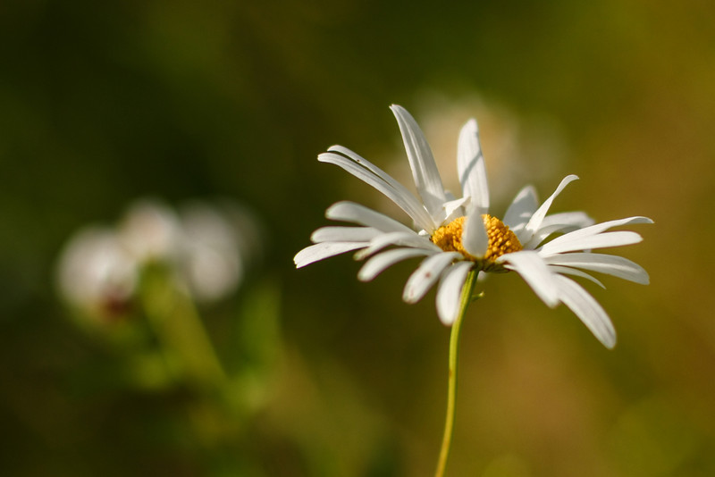 I think this daisy is giving me the finger, lol
