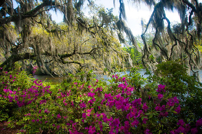Live Oaks, Azaleas and Spanish Moss