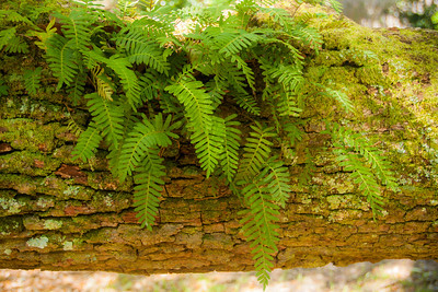 Resurrection Fern on Live Oak