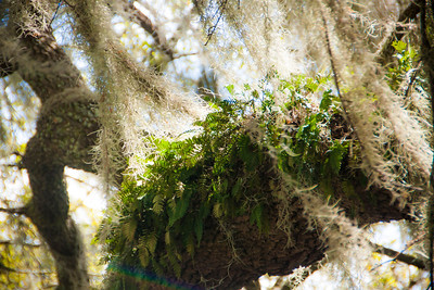 Resurrection Ferns