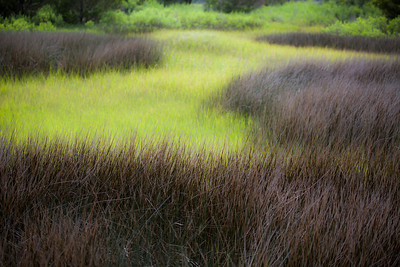 Salt Marsh Grasses