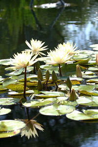 Four White Waterlilies
