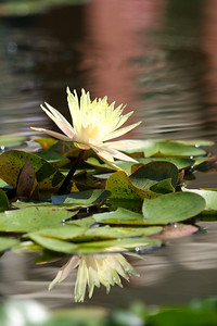 One White Waterlily