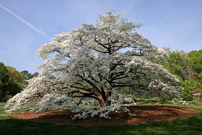 Ancient Dogwood