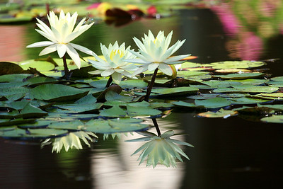 Three White Waterlilies