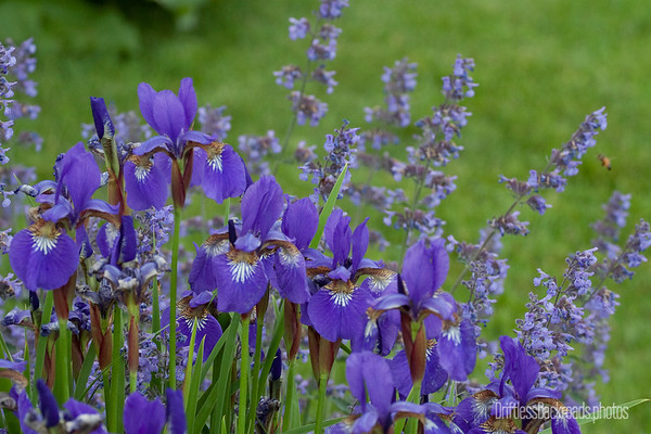 Iris and Catmint