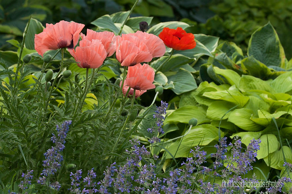 Hostas and Poppies