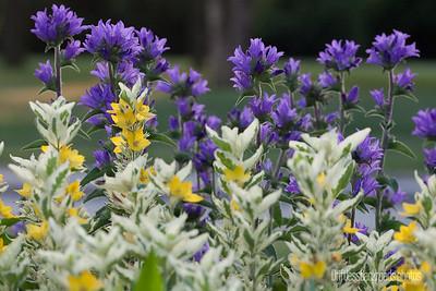 Clustered Bellflowers