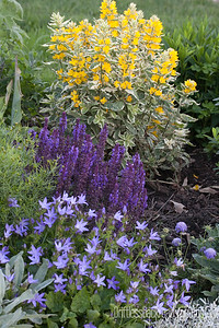 Loosestrife and Salvia