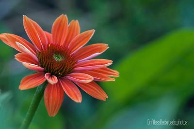 Echinacea in Orange
