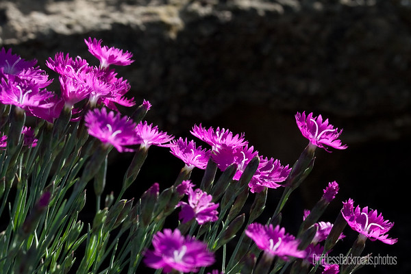Cheddar Pinks