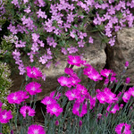 Soapwort and Pinks