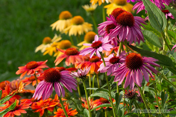 Colorful Coneflowers