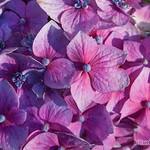 """Hydrangea """"Bloomstruck"""""""