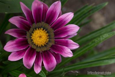 Purple Gazania