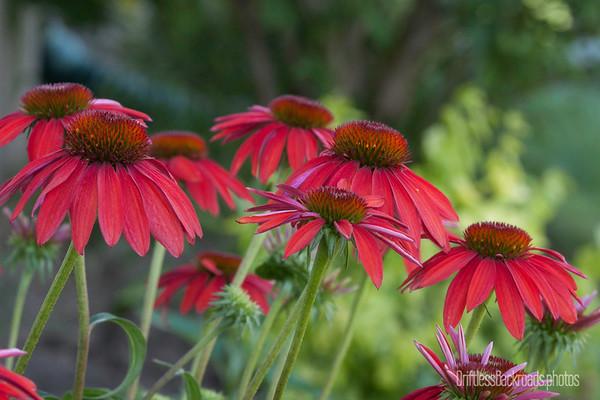 Red Coneflowers
