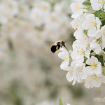 Bee and Blossoms