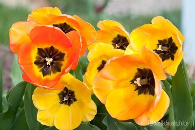 Tulip Faces