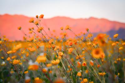 Anza Borrego superbloom yellow flowers in Anza Borrego Desert State Park