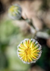 Yellow flower bud closeup in Anza Borrego Desert State Park