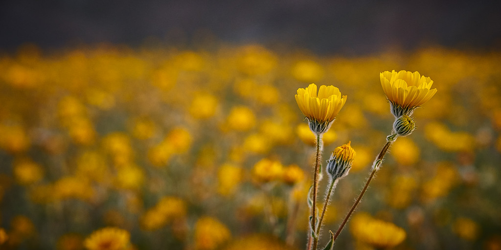 Anza Borrego superbloom yellow flowers in Anza Borrego Desert State Park