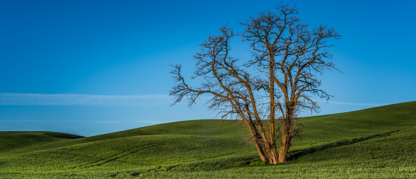 Lone Tree on the Palouse